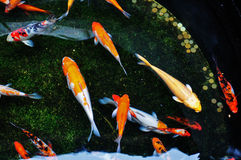 Colorful Koi Fish Swimming In The Pool Stock Photo