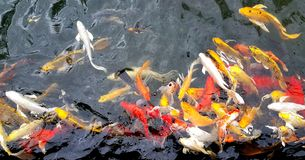Colorful koi fish swimming in the pond Royalty Free Stock Images