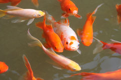 Colorful koi fish swimming in water. stock photos
