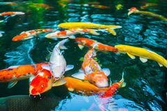 Colorful Koi fish swimming in water . Royalty Free Stock Image