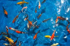Colorful koi fishes in a blue streamlet Royalty Free Stock Photography