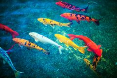 Colorful Koi Fishes. In the Pond Closeup. Pond Fishes Royalty Free Stock Photography