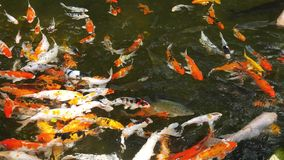 Colorful Koi fishes stock video footage