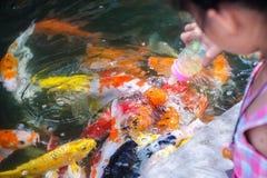 Colorful Koi. Group of Koi are eating some milks Stock Image