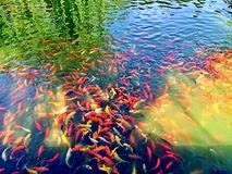 Colorful Koi Pond in Beijing, Peoples Republic of China Royalty Free Stock Photography