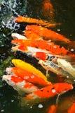 Colorful Kois Stock Photo