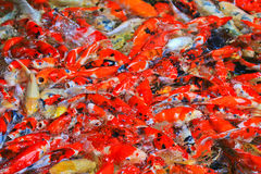 Colorful Kois or carps Royalty Free Stock Photography