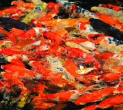 Colorful Kois or carps Stock Image