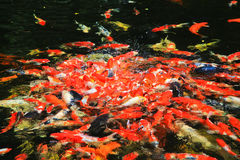 Colorful Kois or carps Stock Photography