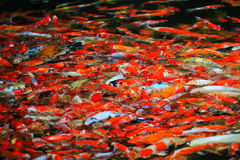 Colorful Kois or carps Stock Photos