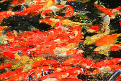 Colorful Kois or carps Royalty Free Stock Image