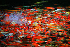 Colorful Kois or carps Royalty Free Stock Photo