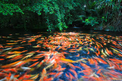 Colorful Kois or carps Royalty Free Stock Photos