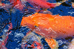 Colorful Kois or carps Stock Photo