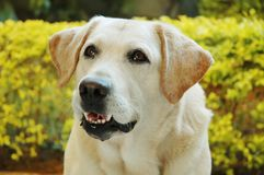 Colorful Labrador royalty free stock photography
