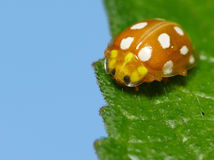 Colorful lady bug Stock Image