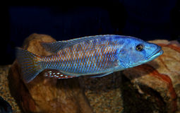 Colorful lake malawi cichlid Royalty Free Stock Photos