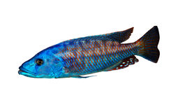 Colorful lake malawi cichlid Stock Photo