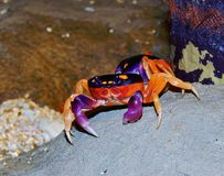 Colorful Land Crabs Royalty Free Stock Image