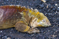 A colorful Land Iguana on the ground Royalty Free Stock Photos
