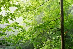 Colorful landscape with beech forest and the sun, with bright rays of light beautifully shining through the trees and morning fog. Landscape with beech forest Royalty Free Stock Photos