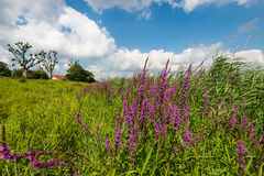 Colorful landscape with blooming purple loosetrife Royalty Free Stock Photo