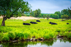 Colorful Landscape with cows Stock Photo