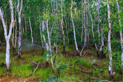 Colorful landscape of green swamp forest with root. Beautiful na Royalty Free Stock Photo