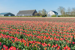 Colorful landscape with orange blooming tulips in springtime. Red and orange flowering tulips at the field of a Dutch bulb nursery on a sunny day in the spring Stock Photography
