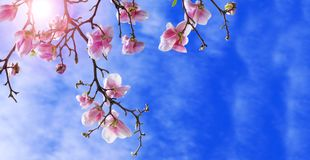 Colorful landscape of purple flowers in the spring season. Amazing background with magnolia tree. Beautiful pink magnolia petals. On blue sky background. Branch stock photography