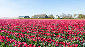 Colorful landscape with red blooming tulips in springtime Royalty Free Stock Photography