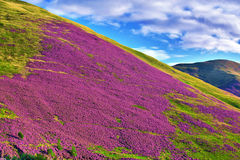 Colorful landscape scenery of Pentland hills slope covered by vi Stock Photography