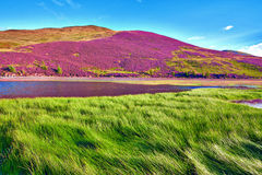 Colorful landscape scenery of Pentland hills slope covered by vi. Colorful landscape scenery of hill slope covered by violet heather flowers and green valley Royalty Free Stock Image