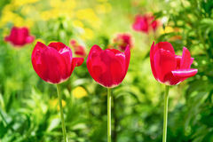 Colorful landscape with three tulips Stock Image