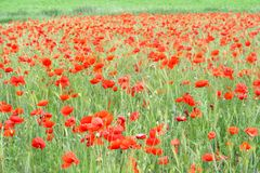 South Bohemian rural landscape wild wild poppies, Czech Republic  Royalty Free Stock Photography