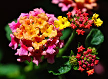 Colorful Lantana Royalty Free Stock Image