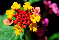 Colorful Lantana Stock Photo