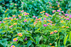 Colorful Lantana camara flower blossoming in garden. Royalty Free Stock Images