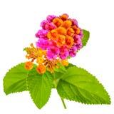 Colorful Lantana camara flower is isolated on white background, Royalty Free Stock Photography