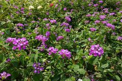 Colorful Lantana camara flowers Stock Photos
