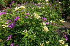 Colorful Lantana camara flowers Royalty Free Stock Photo