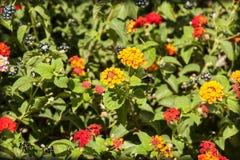 Colorful Lantana camara Stock Photography