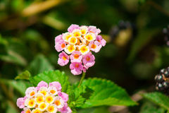 Colorful Lantana camara Stock Photo