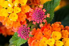 Colorful lantana flowers Stock Photo