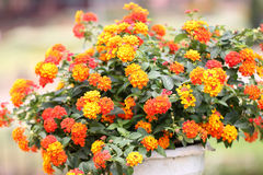 Colorful of Lantana Flowers. Stock Photo