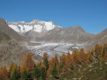 Colorful Larch Forest And Glacier. Larch Forest and Aletschgletscher in the autumn stock images