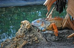 Interesting Iguana Royalty Free Stock Photos
