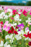 Colorful Lathyrus Royalty Free Stock Photos
