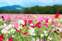 Colorful Lathyrus Stock Images