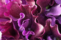 Colorful lathyrus flowers Stock Image
